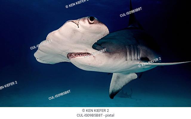 Underwater close up of hammerhead shark
