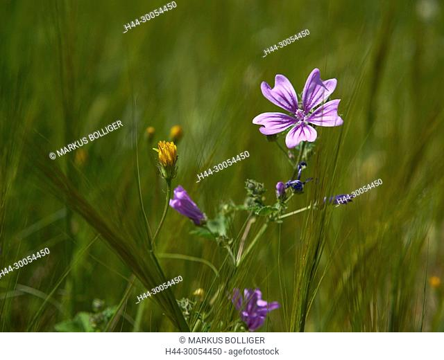 Crete, Greece, flower, blossom, mallow, plant, flower plant, Rose, Kronblatt, meadow, Malva