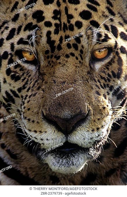 Panthera onca. Portrait of a male jaguar. French Guiana