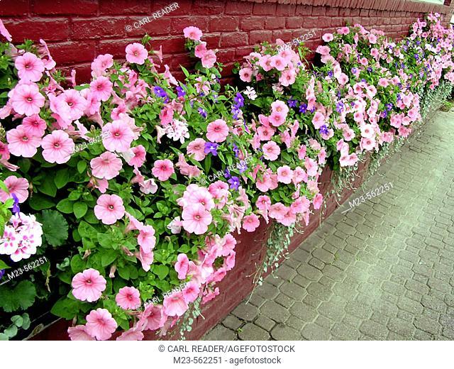 Flowers line the summer sidewalk in Stowe, Vermont. USA