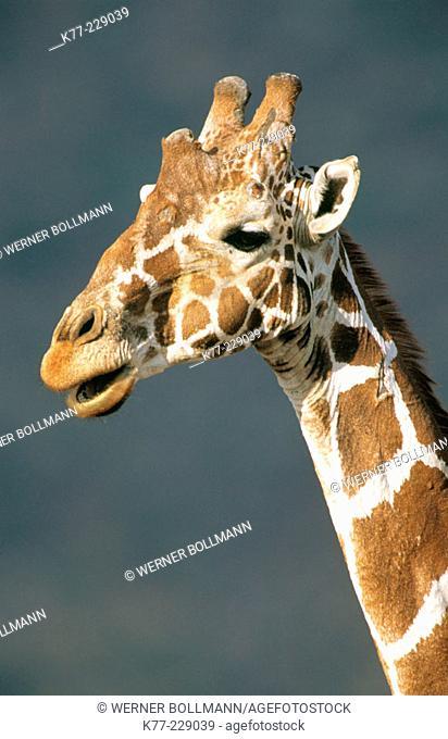 Reticulated Giraffe (Giraffa camelopardalis reticulata). Samburu National Reserve. Kenya