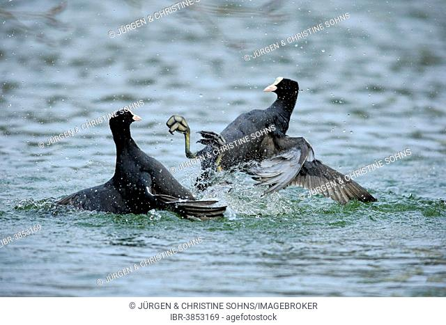 Eurasian Coot (Fulica atra), two males fighting in the water, Luisenpark, Mannheim, Baden-Württemberg, Germany
