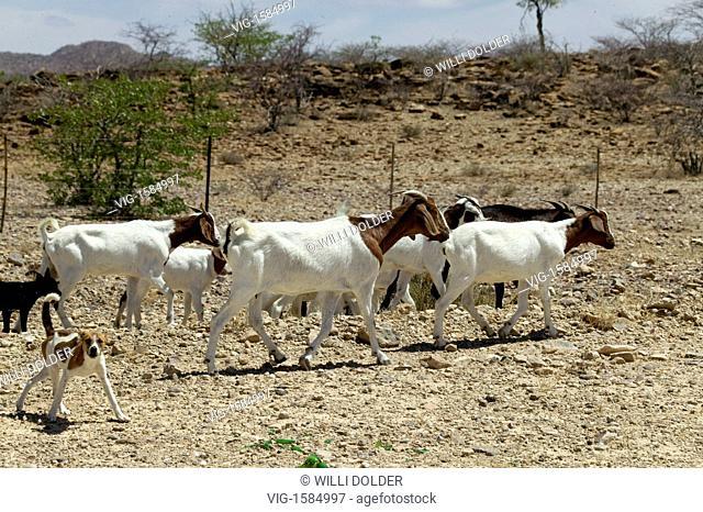 Herd of goats in the half desert of northwestern Namibia, Damaraland. - Damaraland, NAMIBIA, 30/01/2008
