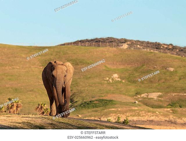 Elephant, Loxodonta Africana, behavior indicates a keen intelligence and awareness among these animals