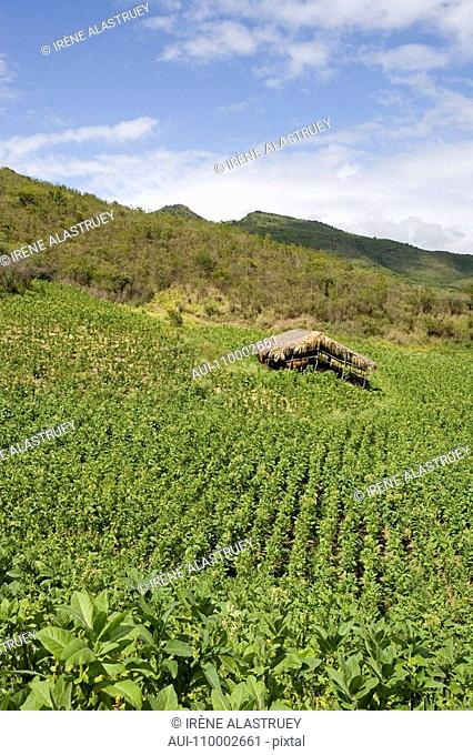 Dominican Republic - Centre - The Cibao - Tobacco Valley - Plantation