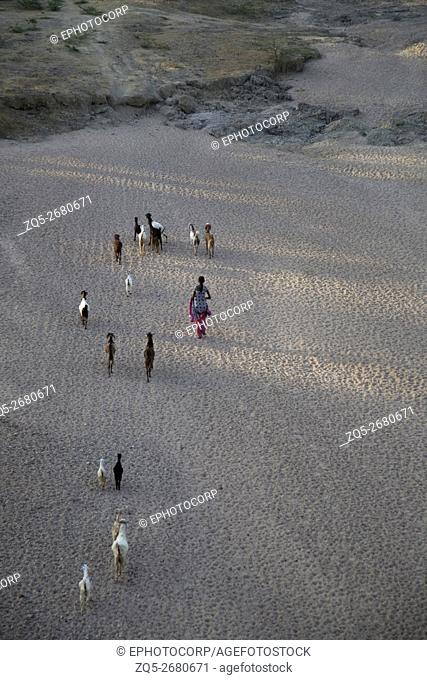 Aerial view of woman shepherdess with flock of sheep. Madhya Pradesh, India