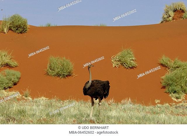 Africa, Namibia, NamibRand Nature Reserve, ostrich