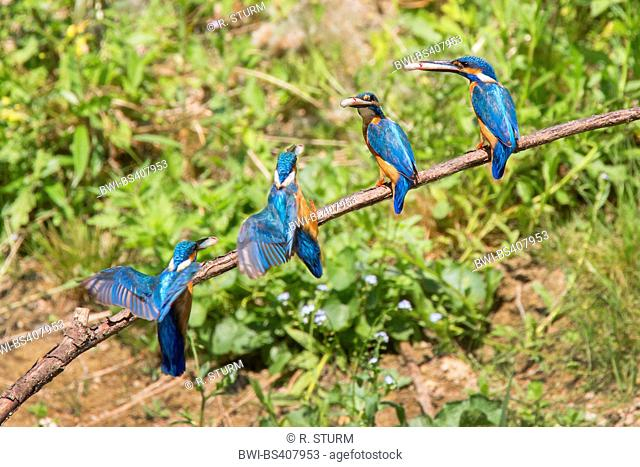 river kingfisher (Alcedo atthis), composing of the landing with a fish in the bill, Germany, Bavaria