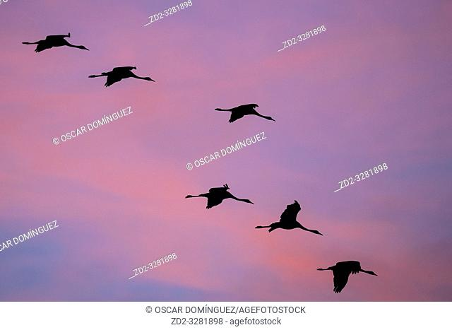 Common Crane (Grus grus) flying in to land at sunset. Gallocanta lagoon. Zaragoza province. Aragon. Spain