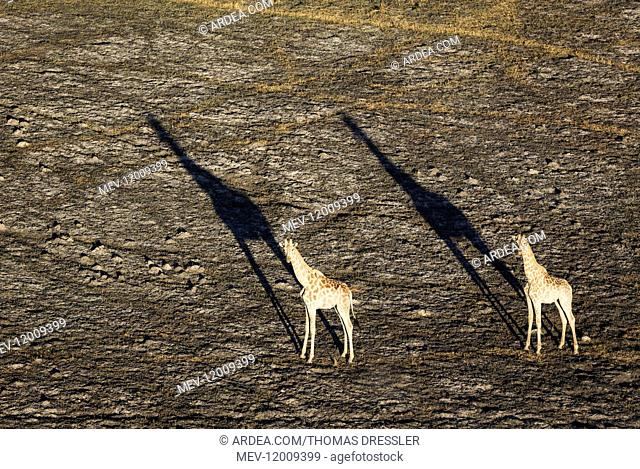 Southern Giraffe - two males in the late evening - aerial view - Okavango Delta, Moremi Game Reserve, Botswana