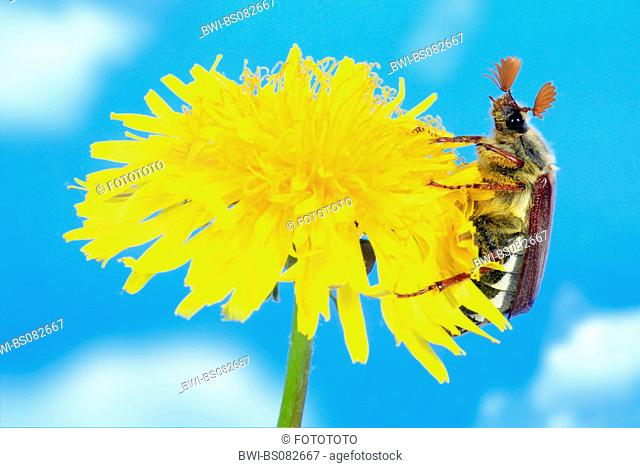 common cockchafer, maybug (Melolontha melolontha), on common dandelion blossom, Germany