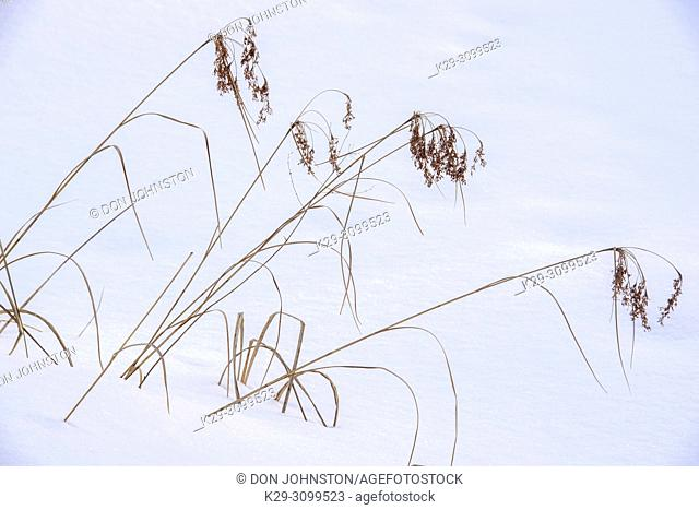 Marsh reeds protruding from the snow, Greater Sudbury, Ontario, Canada