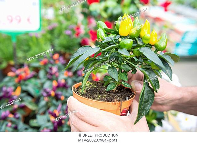 Close-up of gardener's hands holding chilli pepper plant in greenhouse, Augsburg, Bavaria, Germany