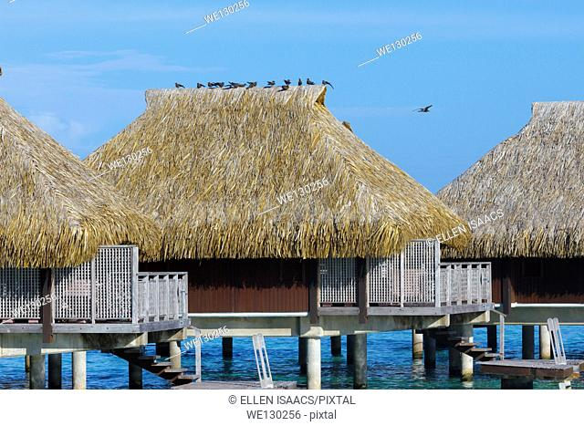 Birds perched on top of thatched roof above overwater bungalow in French Polynesia