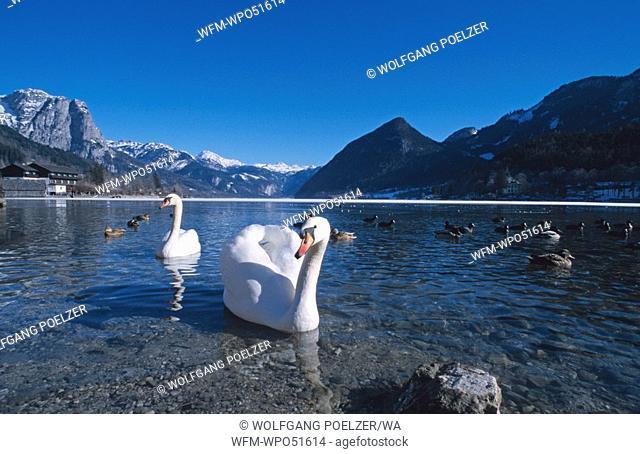 swans on a lake, Cygnus olor, Grundlsee, Austria