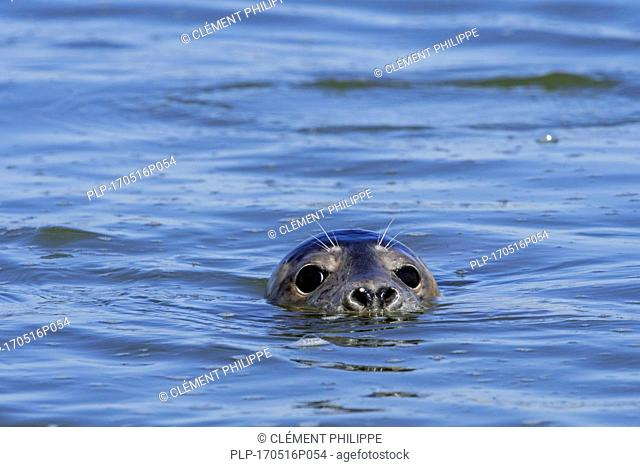 Close-up head of young grey seal / gray seal (Halichoerus grypus) swimming in the Ythan Estuary, Sands of Forvie, Newburgh, Aberdeenshire, Scotland