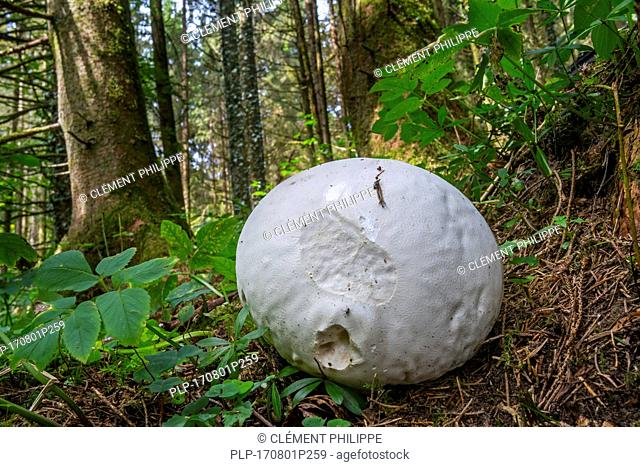 Giant puffball (Calvatia gigantea / Langermannia gigantea) on the forest floor in late summer