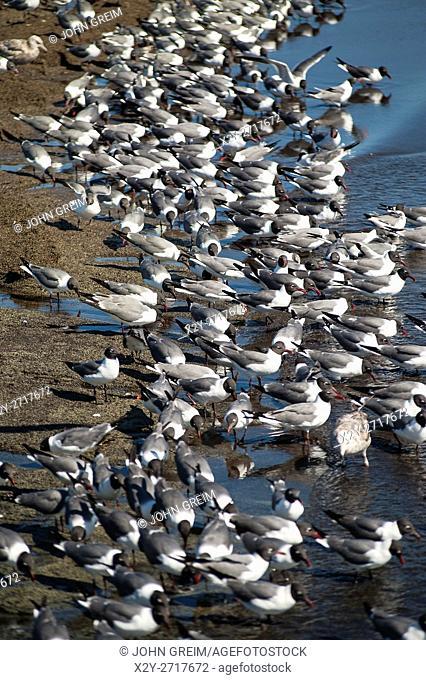 Red knots feeding, Calidris canutus, Reeds Beach, Delaware Bay, New Jersey,, USA