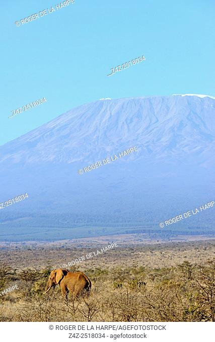 African bush elephant (Loxodonta africana) with Mount (Mt) Kiliminjaro (in Tanzania) on the left, in the background. Satao Elerai Conservancy