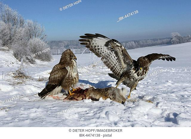 Common buzzards (Buteo buteo) on dead hare (Lepus europaeus) in the snow, Allgäu, Bavaria, Germany