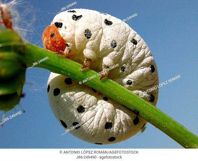 larva (hymenopter)