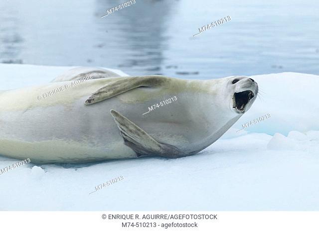 Crab eater seal (Lobodon carcinophagus) on iceberg Antarctica