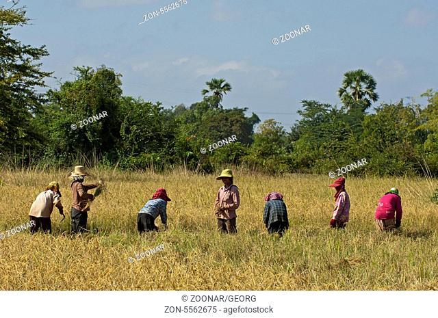 Gruppe von Landarbeiterinnen beim Ernten von Reis, Battambang, Kambodscha / Group of female workers harvesting rice, Battambang, Cambodia
