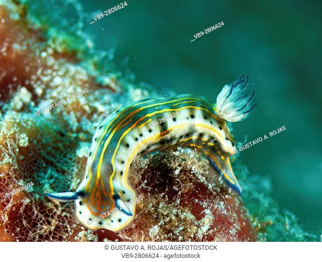 Nudibranch Glossodoris