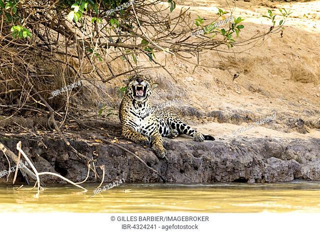 Jaguar (Panthera Onca) yawning, lying at rivershore, Northern Pantanal, Brazil