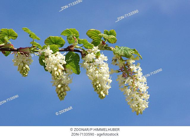 White flowering currant stock photos and images age fotostock white flowering currant mightylinksfo