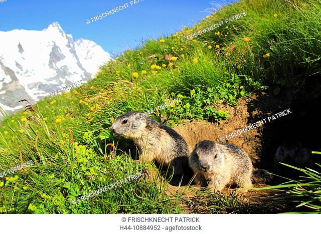Alpenmurmeltier, Marmota marmota