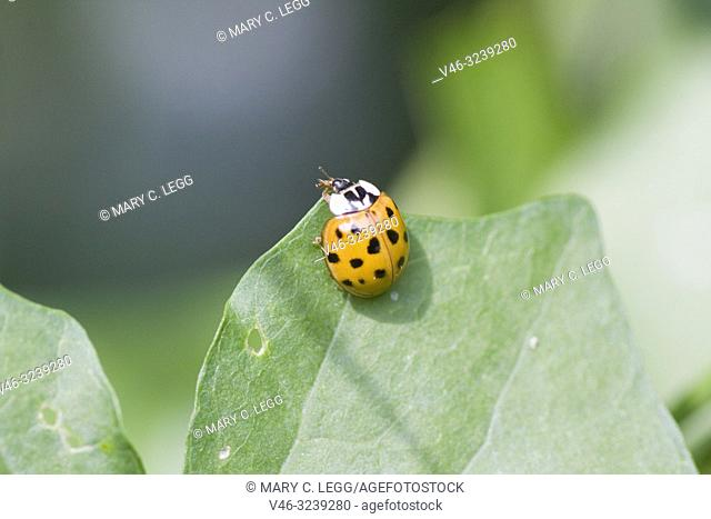 Harlequin Ladybird, Harmonia axyridis, large ladybird which have multiple colora variations with dots 0-22. Most common form is red or orange with 14 dots and...