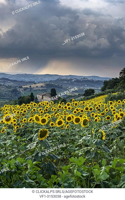 Montotto, Monterubbiano, province of Fermo, Marche, Italy, Europe. . Typical fields of the Marche with sunflower fields