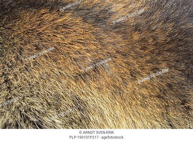 Alpine marmot (Marmota marmota) close-up of brown hairs in dense summer coat / fur / pelt