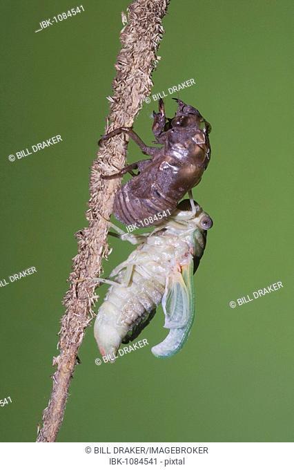 Cicada (Tibicen resh), adult emerged from nymph skin drying wings, Sinton, Corpus Christi, Texas, USA
