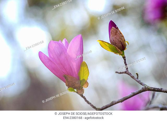 Flower buds of a magnolia tree