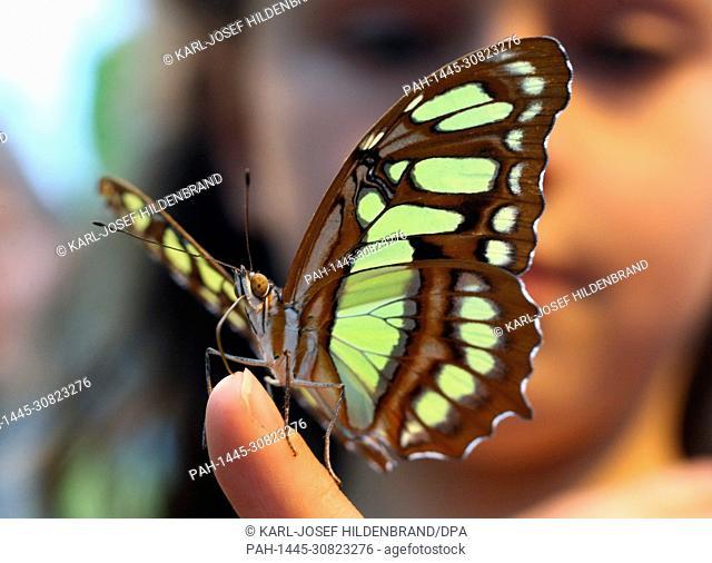 A girl visiting the Schmetterlingsgarten (butterfly garden) in Pfronten, Germany, holds a malachite butterfly on her finger, on 14.04.2012