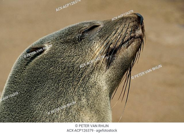 Cape Fur Seal,Brown Fur Seal,Arctocephalus Pusillus, Snoozing at the Cape Cross Seal Reserve,Namibia west coast,Africa