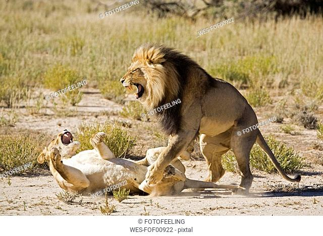 Africa, Namibia, Lioness Panthera leo and lion