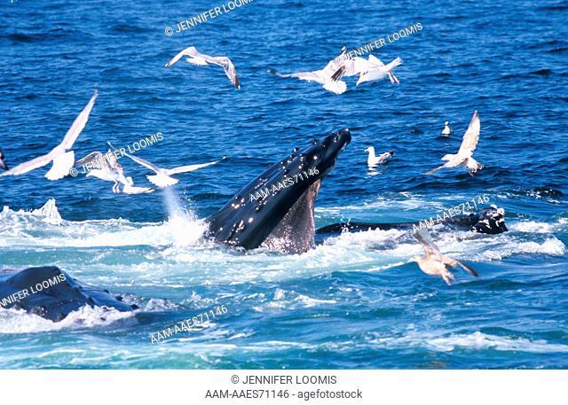 Feeding Humpback Whale (Megaptera novaeanglia) Stellwagen Bank
