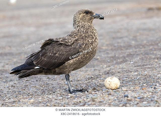 Falkland or Brown Skua or Subanarctic Skua (Stercorarius antarcticus, taxonomy in dispute). Egg of Gentoo Penguin. South America, Falkland Islands, January
