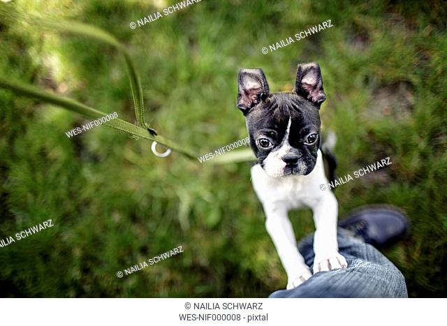 Germany, Rhineland-Palatinate, Boston Terrier, Puppy with master
