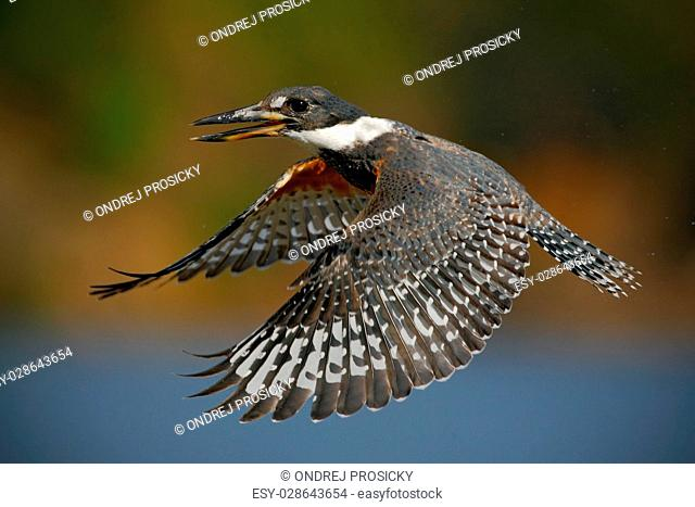 Flying bird Ringed Kingfisher