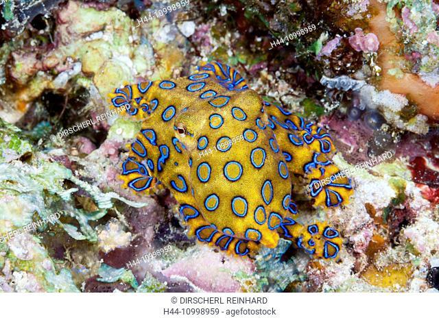 Poisonous Blue Ring Octopus, Hapalochlaena lunulata, Ambon, Moluccas, Indonesia