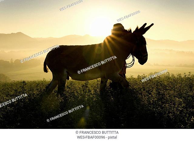 Italy, Tuscany, Borgo San Lorenzo, man walking with donkey in field at sunrise above rural landscape