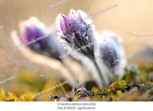Pasqueflower, Pulsatilla vulgaris, Upper Palatinate, Bavaria, Germany, Europe