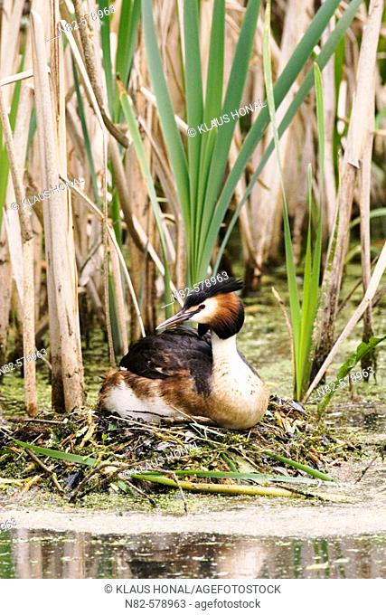 Great Crested Grebe (Podiceps cristatus) brooding in reed