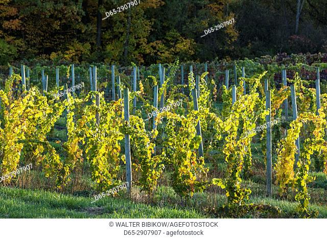 USA, New York, Finger Lakes Region, Dundee, vineyard, autumn