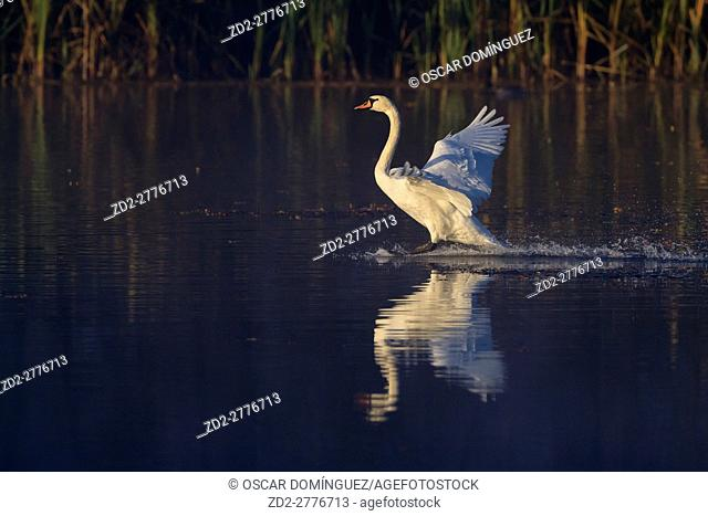 Mute Swan (Cygnus olor) landing on water. Lower Silesia. Poland