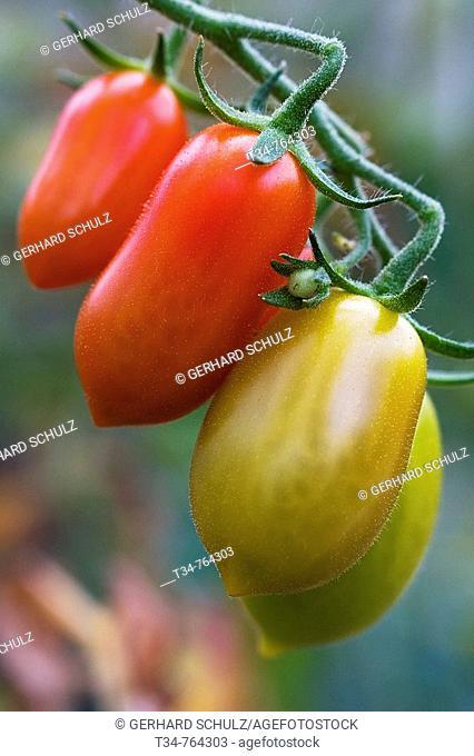 Tomatoes. Schleswig-Holstein, Germany